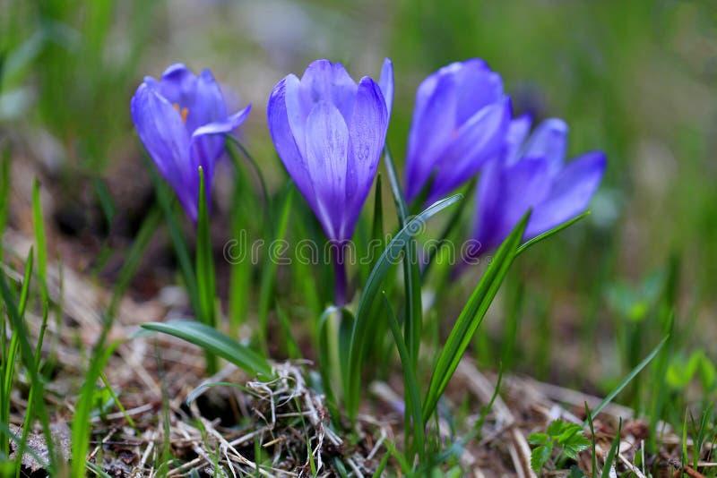 蓝色番红花开花的春日 库存图片