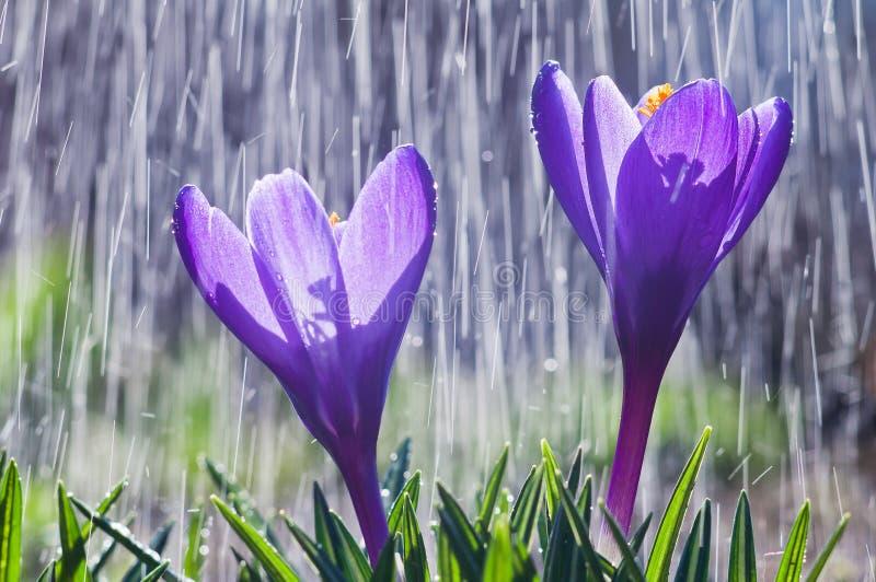 蓝色番红花美丽的花在雨下落轨道背景的  免版税库存图片