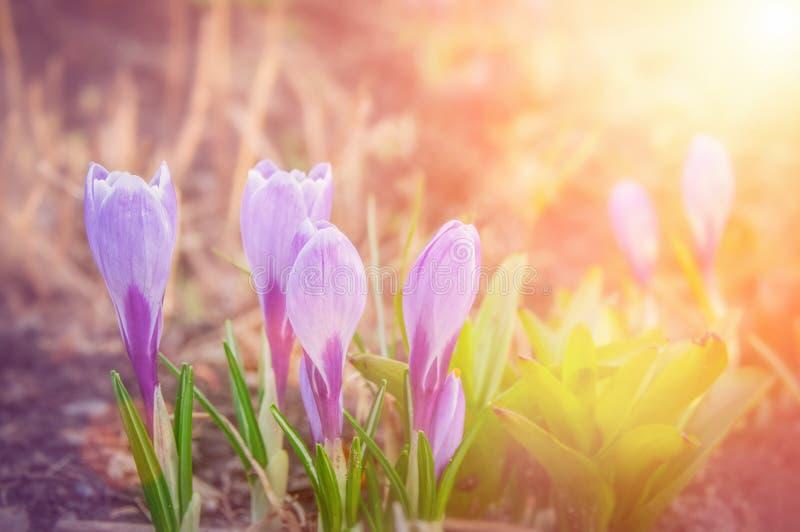 蓝色番红花 早期的绽放取悦肉眼 蓝色snowdrops在春天森林里第一朵春天花 库存图片