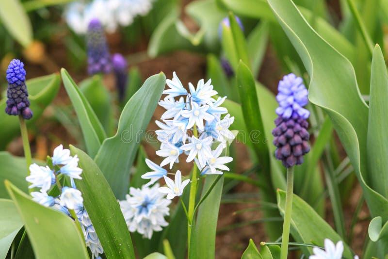 蓝色白色风信花和蓝色葡萄风信花 库存照片