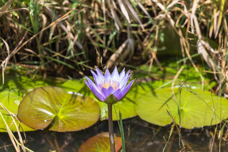 蓝色百合在长得太大的池塘 肯尼亚mara马塞语 免版税库存图片