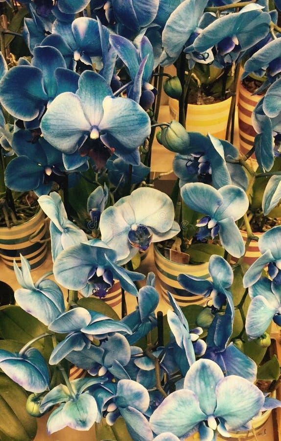 蓝色的兰花 免版税库存图片