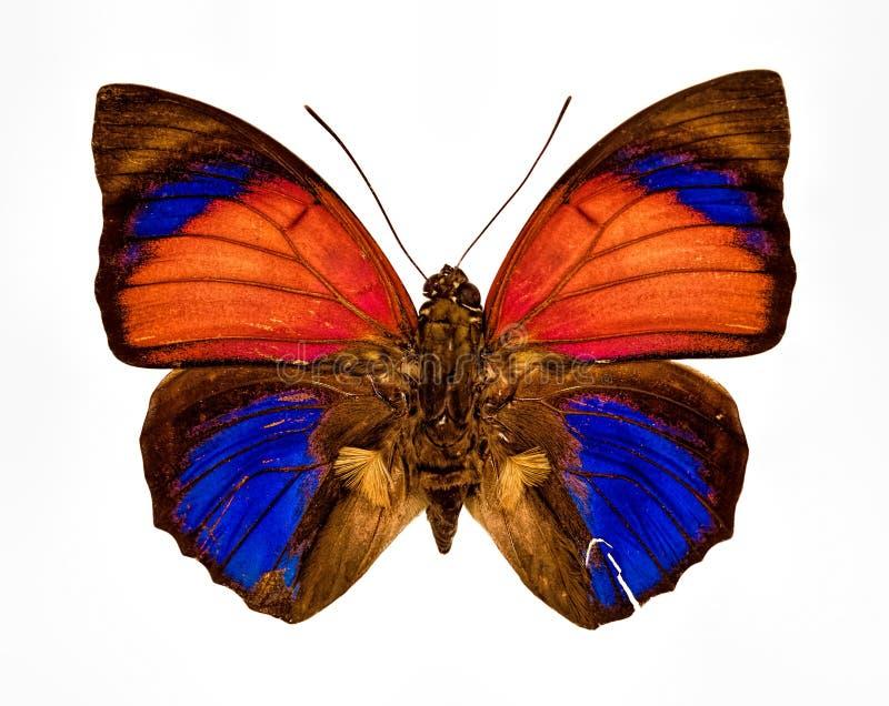 蓝色的橙黄色和在whi隔绝的棕色蝴蝶特写镜头 免版税库存照片