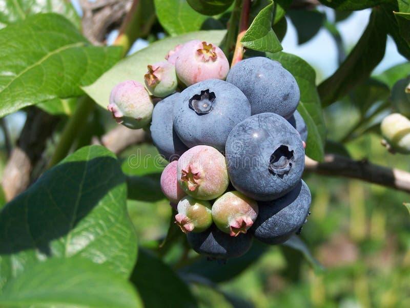 蓝色的浆果 库存照片