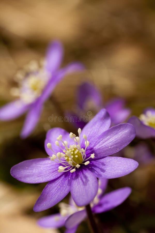 蓝色的银莲花属 库存图片