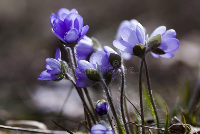 蓝色的银莲花属 免版税库存图片