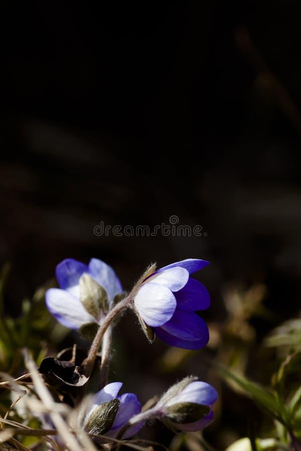蓝色的银莲花属 免版税图库摄影