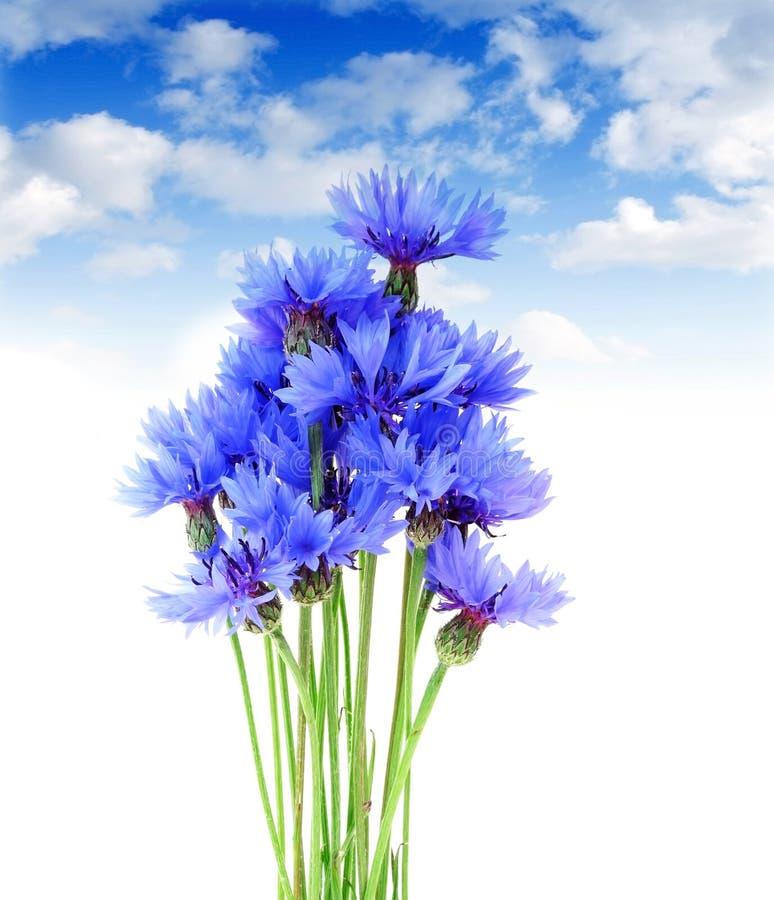 蓝色矢车菊天空 库存照片