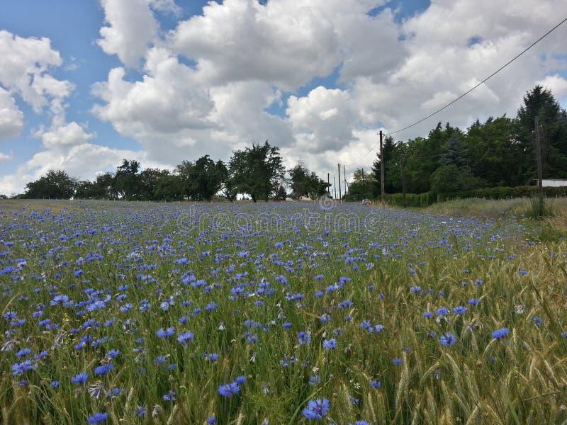 蓝色矢车菊领域 库存图片