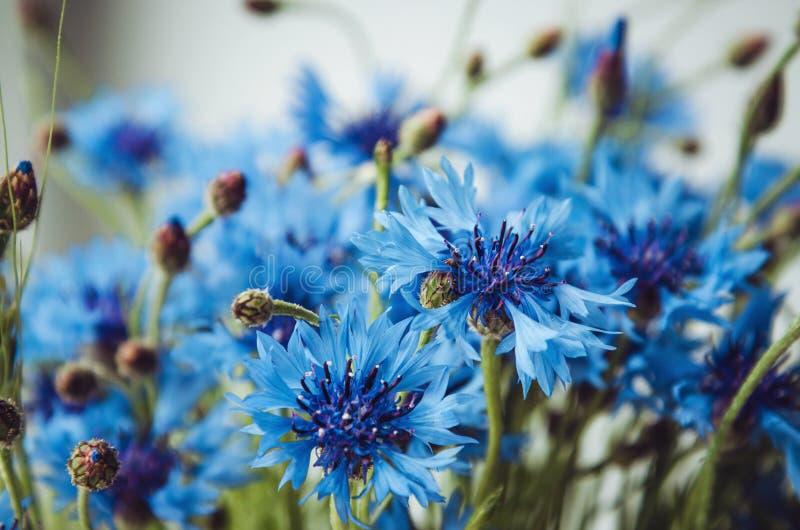 蓝色矢车菊,在白色背景的绿草,农村领域夏天墙纸  开花花卉抽象bokeh和 免版税库存图片