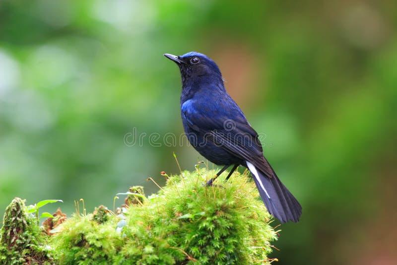 蓝色知更鸟被盯梢的白色 免版税库存图片