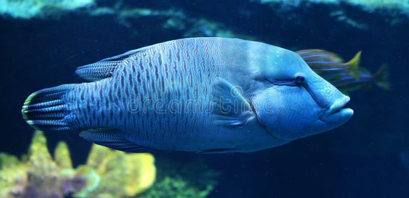 蓝色石斑鱼鱼 免版税图库摄影