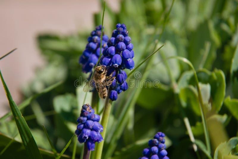 蓝色穆斯卡里和蜂在草 免版税库存图片