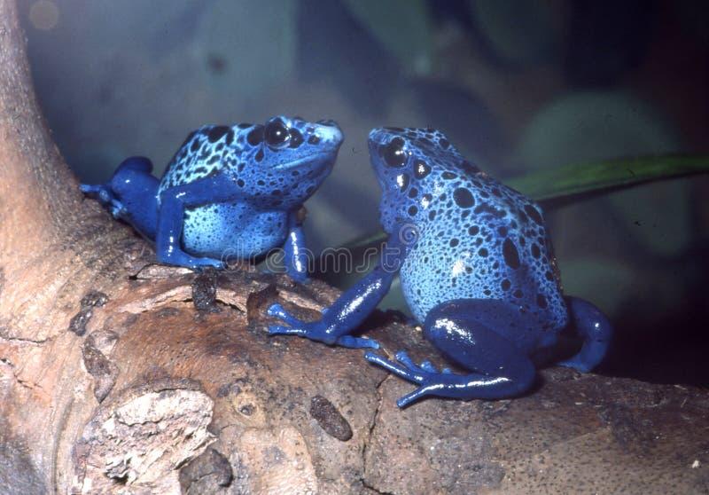 蓝色箭青蛙对毒物 图库摄影