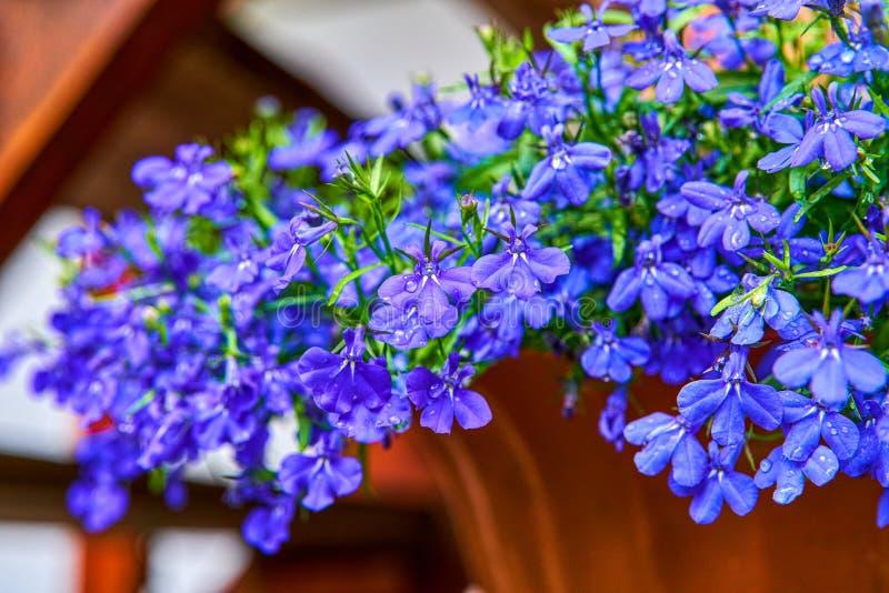 蓝色紫罗兰色山梗菜erinus青玉在庭院里开花或边缘山梗菜,庭院山梗菜一棵普遍的边缘植物为 图库摄影