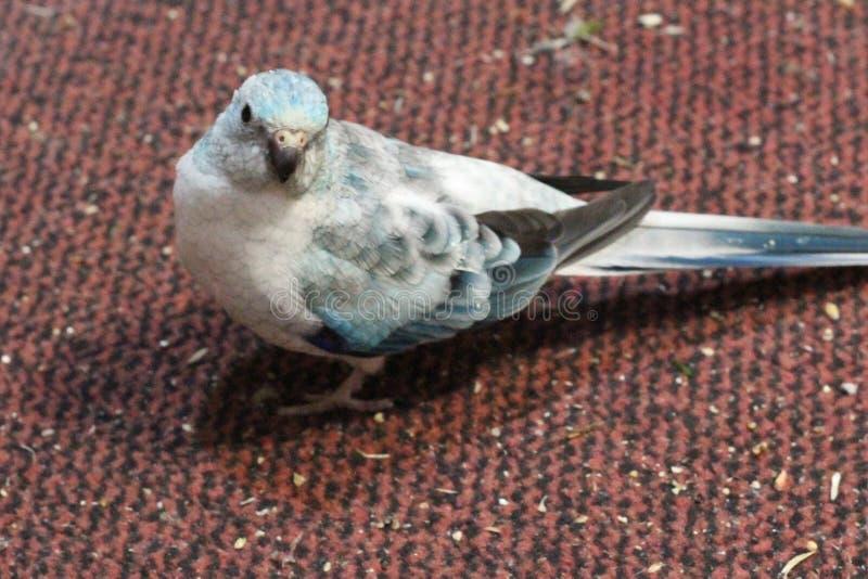 蓝色红色臀部长尾小鹦鹉 图库摄影