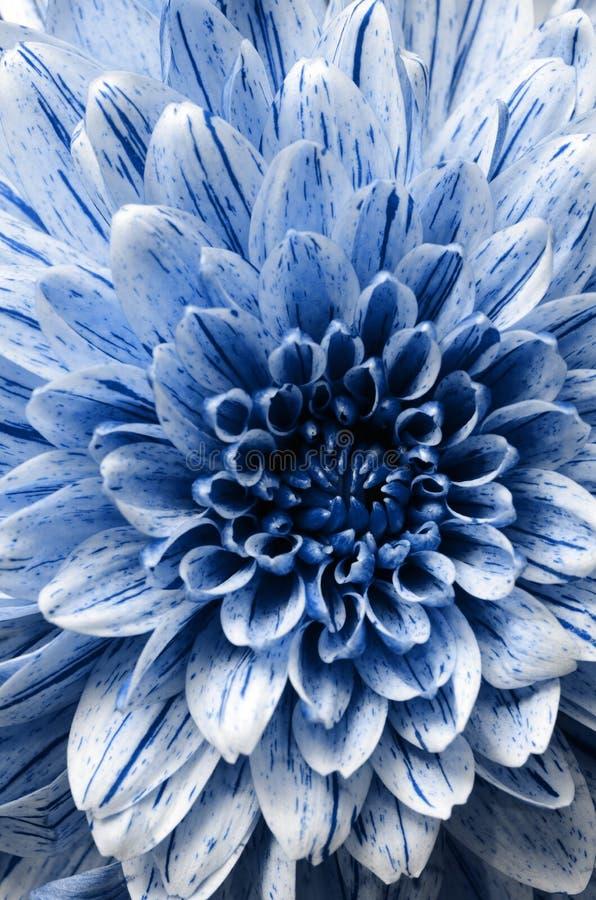 蓝色翠菊花背景、宏指令和细节  免版税图库摄影