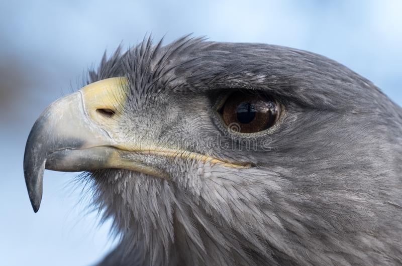 蓝色老鹰接近的画象,被拍摄在猎鹰训练术英国学校,鲱鱼绿色农场,贝德福德郡英国 免版税图库摄影