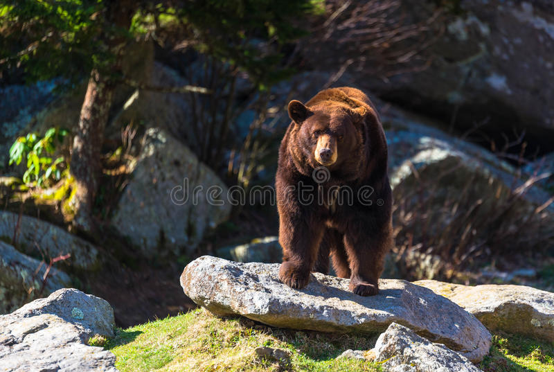 蓝色背脊山黑熊 免版税库存图片