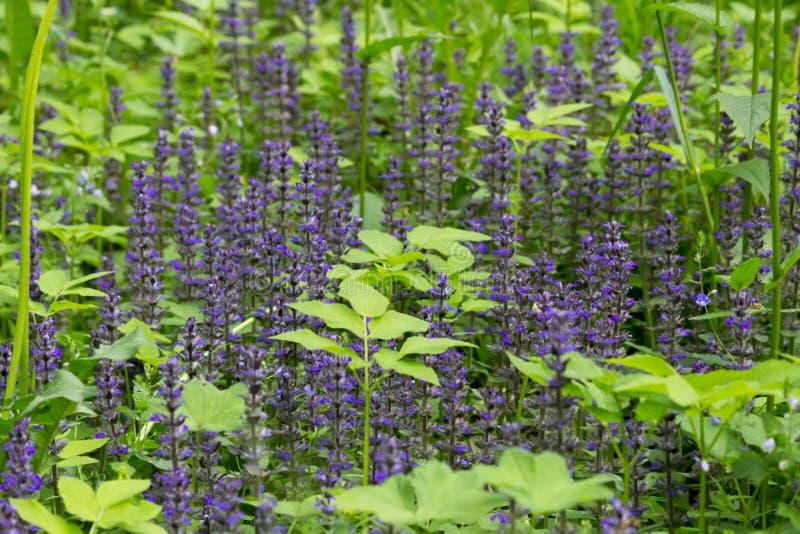蓝色花丛林从家庭唇形科或唇形科在加特契纳森林里,俄罗斯的 夏天,6月 ?? 免版税库存图片