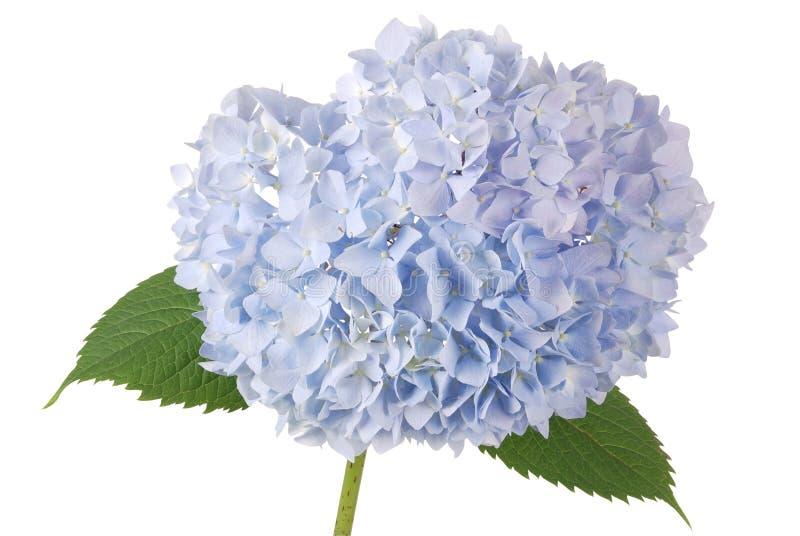 蓝色花八仙花属(裁减路线) 图库摄影