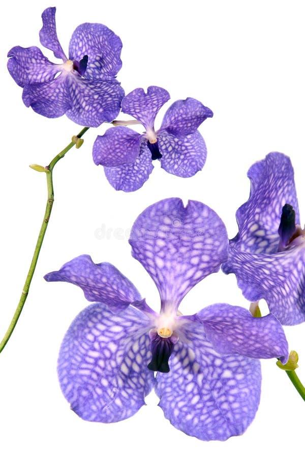 蓝色花兰花 库存照片