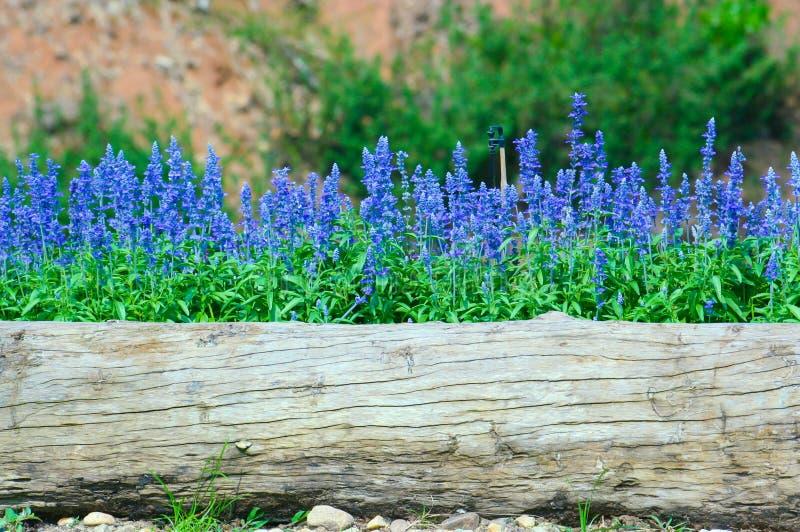 蓝色花卉生长在老树桩 免版税图库摄影