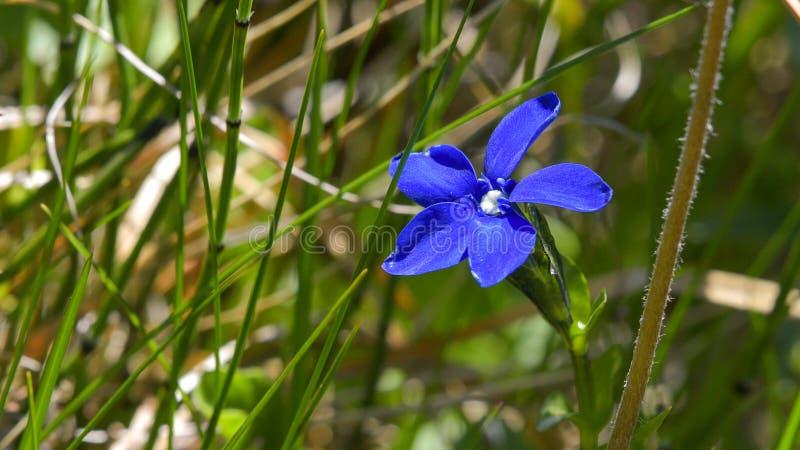 蓝色花在草甸突然出现了 免版税图库摄影