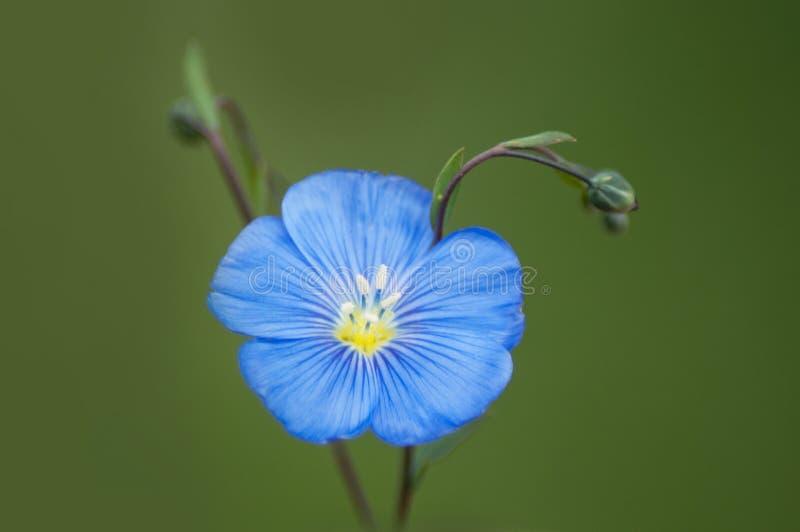 蓝色花在草甸 免版税库存照片