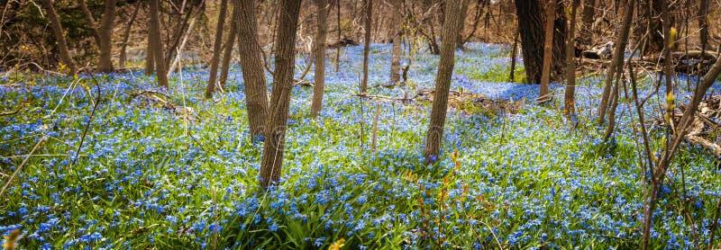 蓝色花地毯在春天森林里 免版税库存照片