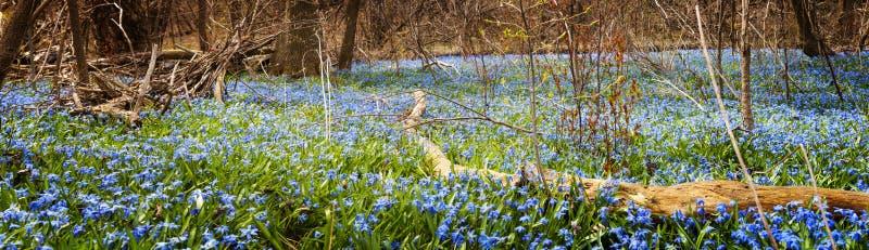 蓝色花地毯在春天森林里 免版税库存图片