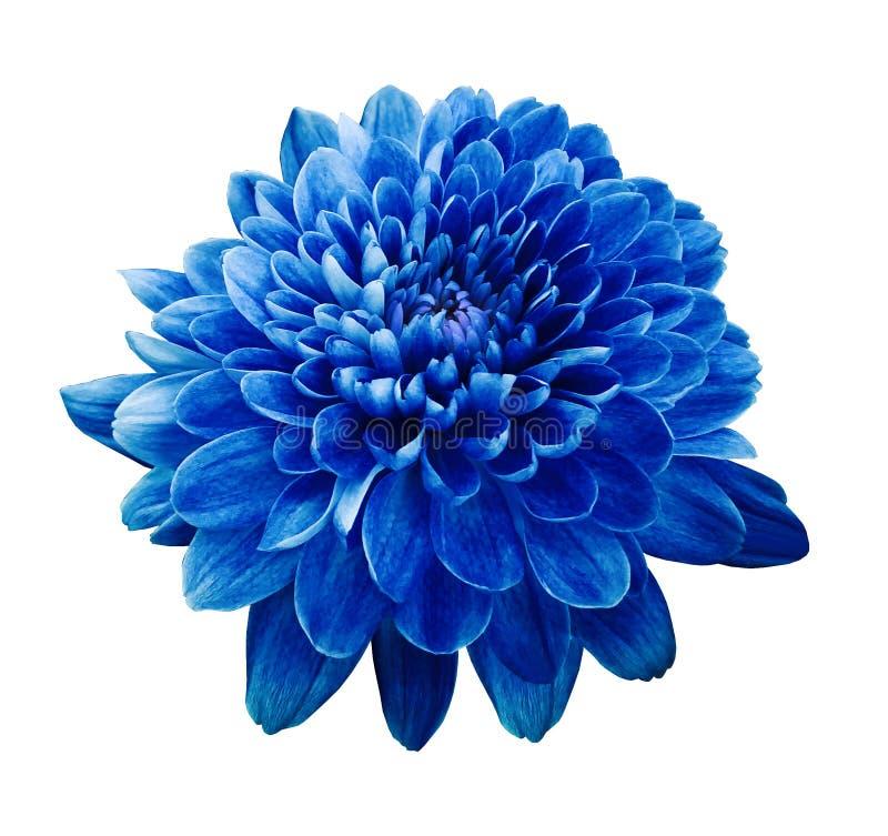 蓝色花菊花 开花在白色与裁减路线的被隔绝的背景 特写镜头 没有影子 免版税图库摄影