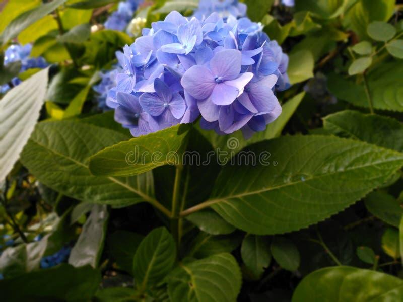 蓝色花迷离背景墙纸八仙花属花图片 图库摄影