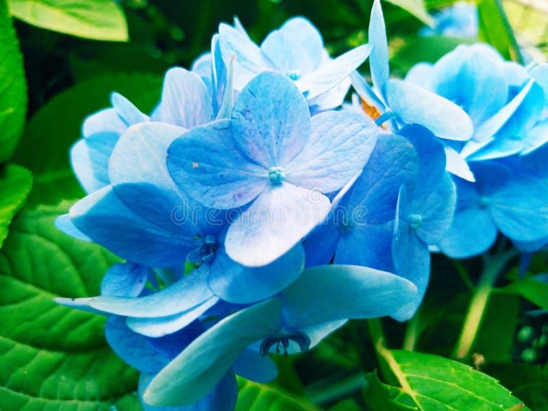 蓝色花迷离背景墙纸八仙花属花图片 免版税库存图片