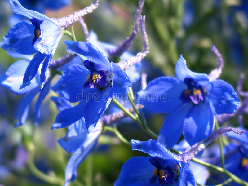 Download 蓝色花 库存图片. 图片 包括有 特殊, 植物群, 生动, 卖花人, 颜色, beauvoir, beautifuler - 180351