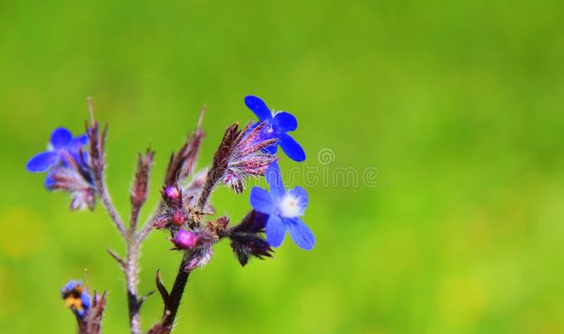 Download 蓝色花 库存照片. 图片 包括有 蓝色, 结算, 自然, 紫色, 库尔德人, 粉红色, 春天, 绿色, 新鲜 - 72372482