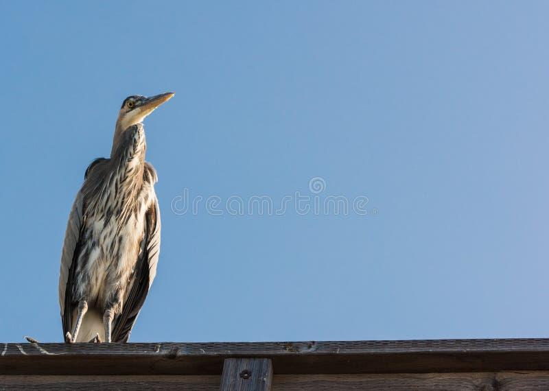 蓝色苍鹭关闭栖息在码头 库存照片