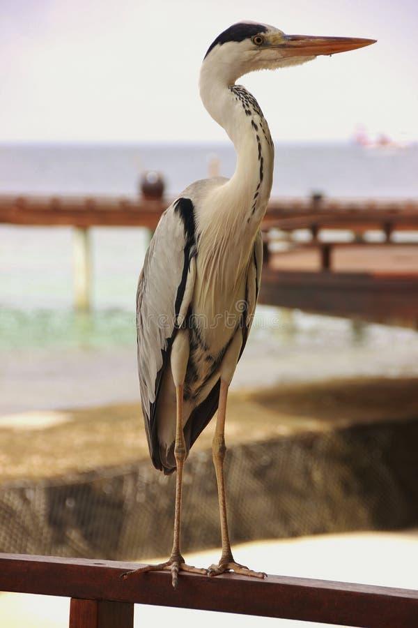 蓝色苍鹭在马尔代夫 免版税库存照片