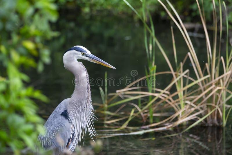 蓝色苍鹭Ardea Herodias伟大蓝色的苍鹭的巢佛罗里达 免版税库存照片
