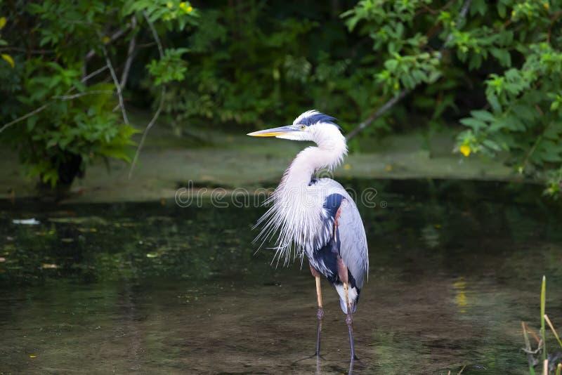 蓝色苍鹭Ardea Herodias伟大蓝色的苍鹭的巢佛罗里达 库存图片