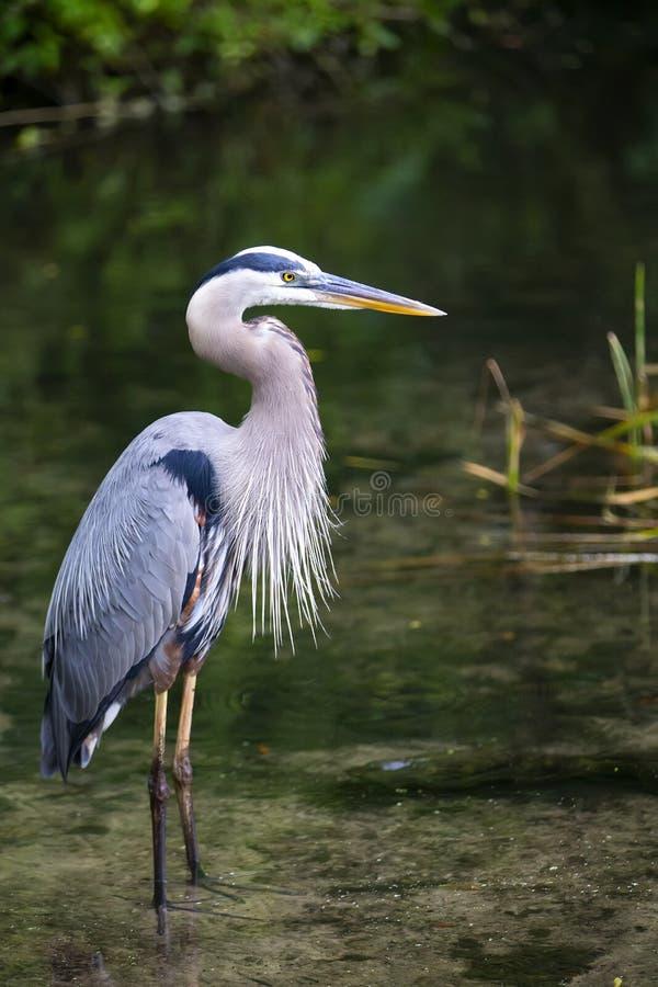 蓝色苍鹭Ardea Herodias伟大蓝色的苍鹭的巢佛罗里达 免版税库存图片