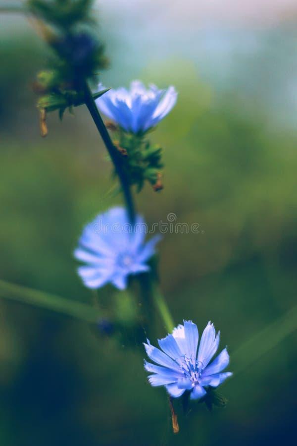 蓝色苦苣生茯花 免版税图库摄影