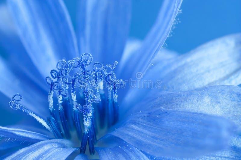 蓝色苦苣生茯 图库摄影