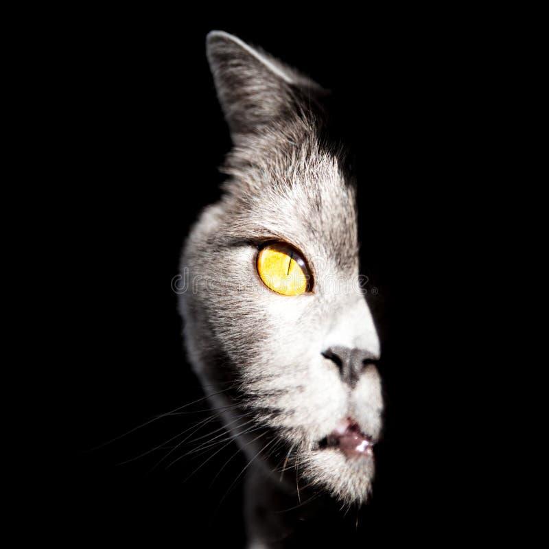 蓝色英国猫 免版税库存照片