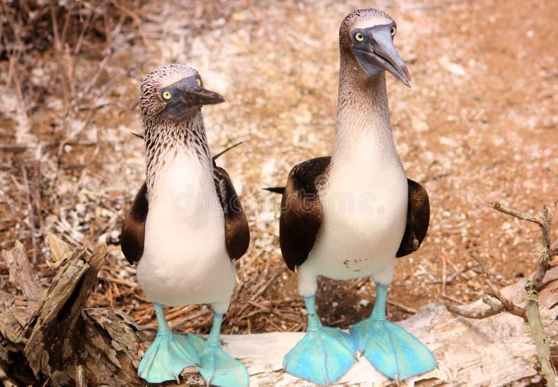 蓝色英尺gannet neboxii苏拉树 免版税库存图片
