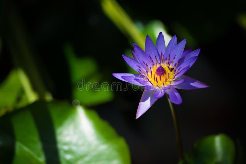 蓝色荷花花和蜂在池塘 免版税图库摄影