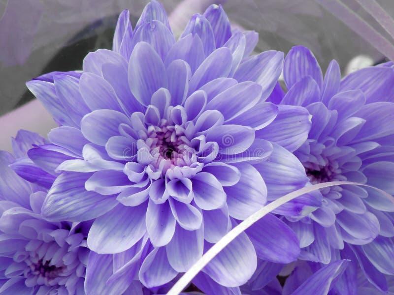 蓝色菊花 菊花花束  库存图片