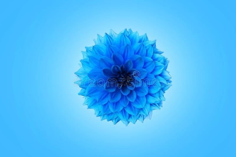 蓝色菊花 库存图片