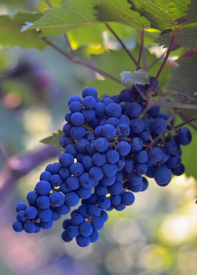 蓝色葡萄酒 免版税图库摄影