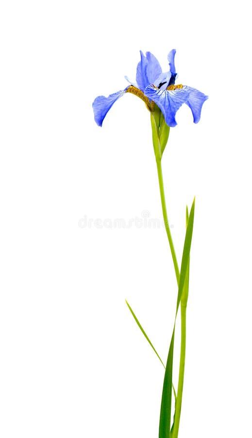 蓝色虹膜 库存照片